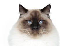 поднимающее вверх близкого портрета кота сиамское Стоковое Изображение