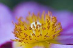 поднимающее вверх близкого утеса цветка розовое стоковые фотографии rf