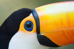 поднимающее вверх близкого toco toucan Стоковое фото RF