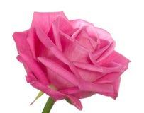 поднимающее вверх близкой головной розы пинка одиночное Стоковое фото RF