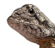 поднимающее вверх близкой ящерицы оборки necked Стоковые Фотографии RF