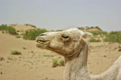 поднимающее вверх верблюда близкое Стоковые Изображения