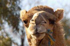 поднимающее вверх верблюда близкое Стоковое Изображение
