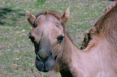 поднимающее вверх верблюда близкое Стоковое Изображение RF