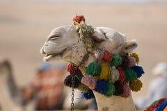 поднимающее вверх верблюда близкое Стоковая Фотография