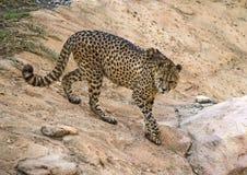 поднимающее вверх гепарда близкое стоковое изображение