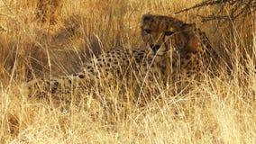 поднимающее вверх гепарда близкое видеоматериал