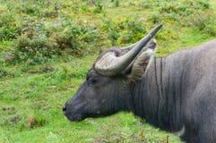 Поднимающее вверх индийского буйвола близкое Стоковое Фото