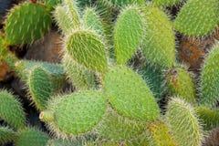 поднимающее вверх кактуса близкое Стоковая Фотография RF