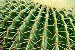 поднимающее вверх конца кактуса бочонка золотистое Стоковые Фотографии RF