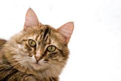 поднимающее вверх кота близкое Стоковое Изображение RF