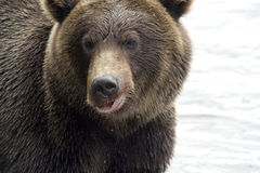 поднимающее вверх медведя близкое стоковые изображения