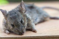 Поднимающее вверх мыши близкое Стоковая Фотография