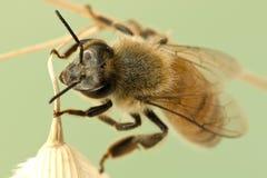 поднимающее вверх пчелы близкое Стоковые Фото
