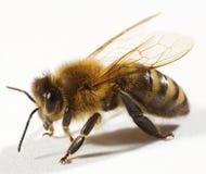 поднимающее вверх пчелы близкое стоковая фотография rf