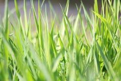 Поднимающее вверх свежей предпосылки зеленой травы весной близкое стоковое изображение rf
