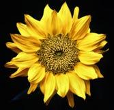 Поднимающее вверх солнцецвета близкое Стоковое Изображение RF