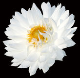 поднимающее вверх хризантемы близкое Стоковая Фотография RF