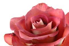 поднимающее вверх шоколада близкое красное розовое Стоковые Фото
