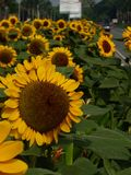 ПОДНИМАЮЩИЕ ВВЕРХ солнцецветы стоковое фото rf