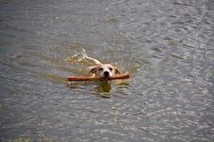 Поднимите влюбленности домкратом терьера Russel плавая в озере стоковые изображения rf