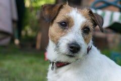 Поднимите конец-вверх домкратом собаки терьера Рассела, лето, внешнее стоковые фото