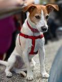 поднимите наблюдать домкратом terrier russell священника стоковая фотография