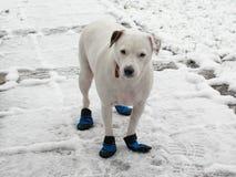 Поднимите терьера домкратом Рассела в ботинках doggie стоя в снеге Стоковые Фотографии RF