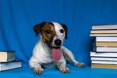 Поднимите терьера домкратом Рассела на голубой предпосылке с книгами Стоковые Фотографии RF
