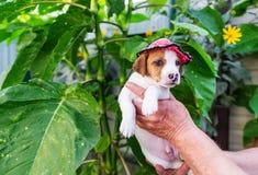 Поднимите щенка домкратом Russel в крышке - на фоне больших зеленых листьев в лете Стоковые Изображения