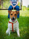 поднимите terrier домкратом russell стоковые фотографии rf