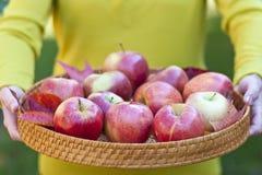 Поднос удерживания женщины с яблоками осени, Стоковое Фото