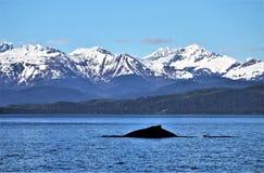 Подныривание горбатого кита в Аляске Стоковое Изображение