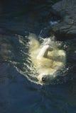 подныривание медведя приполюсное Стоковые Фото