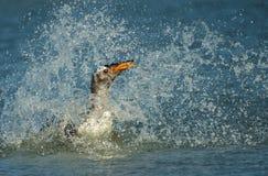 Подныривание пингвина Gentoo в Атлантическом океане Стоковое Фото