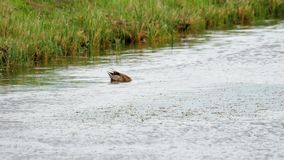 Подныривание утки кряквы видеоматериал