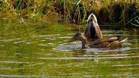 Подныривание утки кряквы сток-видео