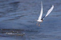 Подныривание Tern Forster Стоковые Изображения RF