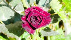Подняла одиночная красная роза стоковые изображения