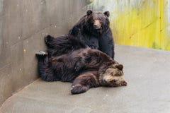 2 подняли сон бурого медведя на конкретной земле в животной области на парке медведя Noboribetsu в Хоккаидо, Японии Стоковое фото RF