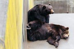 2 подняли сон бурого медведя на конкретной земле в животной области на парке медведя Noboribetsu в Хоккаидо, Японии Стоковое Изображение