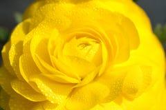 поднял желтый цвет стоковые изображения