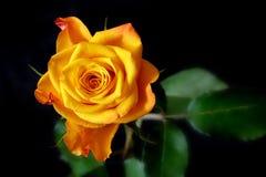 поднял желтый цвет Стоковое фото RF