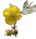 поднял желтый цвет Стоковые Фото