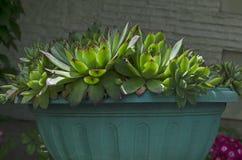 Поднял как картина с яркими ыми-зелен и красными листьями суккулентного крупного плана цветка завода, houseleek, sempervivum или  Стоковая Фотография RF