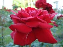 Поднял красный цвет в саде Стоковые Изображения