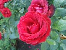 Поднял красный цвет в саде Стоковые Фото