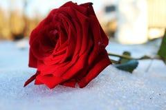 Поднял красный цвет на поле льда в саде Стоковое Фото