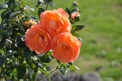 Поднял ферзь цветков стоковое изображение rf