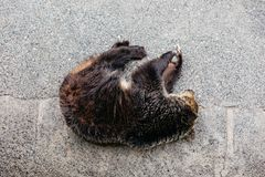 Поднятый сон бурого медведя на конкретной земле на парке медведя Noboribetsu в Хоккаидо, Японии Стоковые Фото